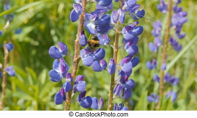 Bee collects honey from lupine.
