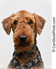 Airedale terrier dog white background
