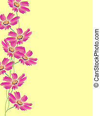 Cosmos flowers isolated on yellow background