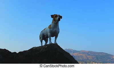 Jack Russell Terrier on the Rocks of the Mediterranean...