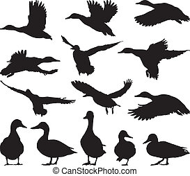 Mallard - Collection of vector mallard silhouettes on white...