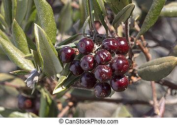 Ripe red manzanita berries - Macro closeup bunch of ripe red...