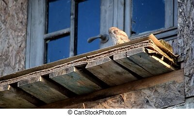 Owl sits on old abandoned building - Owl sitting on old...
