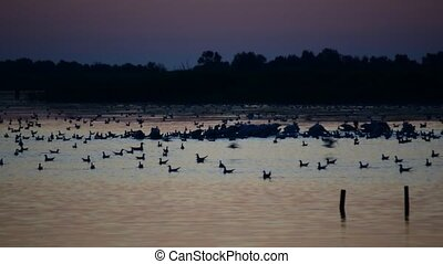 Silhouettes of pelicans and other birds foraging on water...