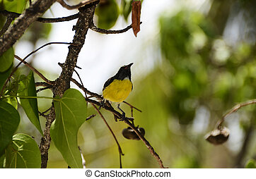 Bananaquit bird in Curacao - Yellow and black Bananaquit...