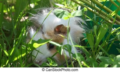Guinea pig in the grass eating, close-up