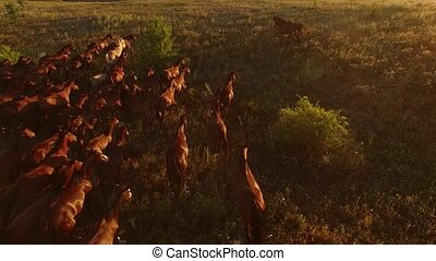 Aerial view of running horses. Horserider and herd....