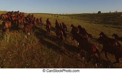 Brown horses are running. Horse herd and cloudless sky....