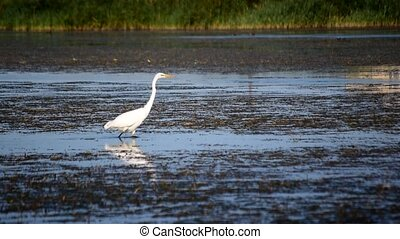 White great egret wading slowly and gracefully in a lake