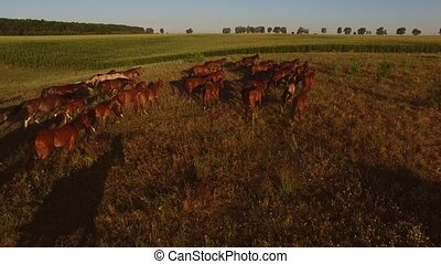 Horses run on meadow. Horse herd near green field. Chase the...