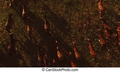 Horses are running on meadow. Aerial view of moving animals....