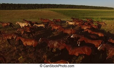 Horses galloping on meadow. Large group of hoofed animals....