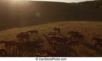Herd of horses is galloping. Grassy hill and sun. Never late...