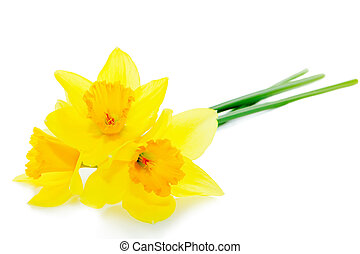 Narcissus flower isolated on white background
