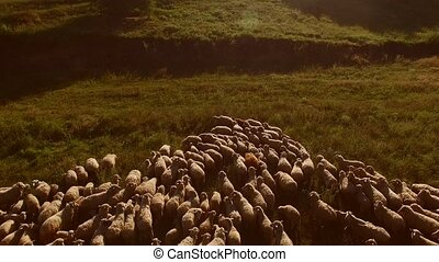 Flock of sheep. Animals on green meadow. Land belongs to the...