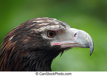 Wedge-tailed Eagle Aquila audax - Close up of a Wedge-tailed...