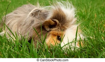Guinea pig on the grass in the yard