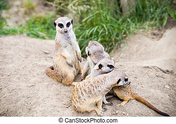 Meerkat, Suricata, suricatta also known as the suricate....