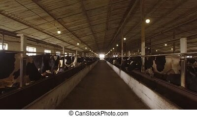 Herd of cows in cowshed Animals are chewing feed Cows at the...