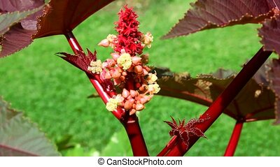 castor-oil plant with big leaves waving in the wind