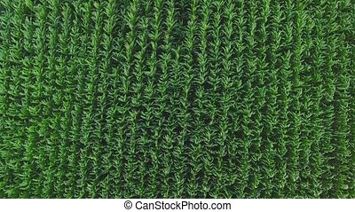 Top view of green field Rows of plants Corn grown in the...