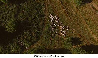Big herd of sheep.