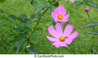 pink cosmos flowers waving in the wind