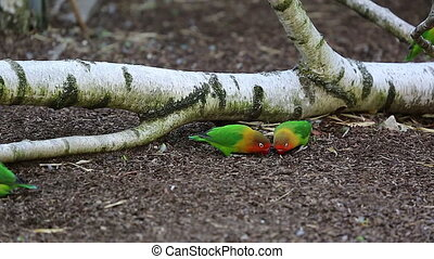 Lovebirds Eating Seeds On Ground - Beautiful Lovebird...
