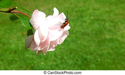 longhorn bug crawling over the pink rose