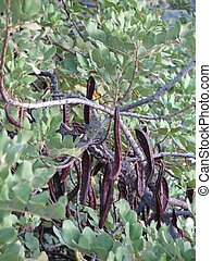 Ripe fruit on Carob Tree - Ripe Algarrobo or Carob fruit on...