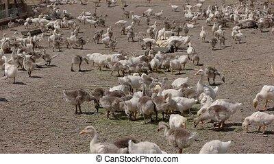 Big herd of geese. Birds walk and peck hay. Under the warm...