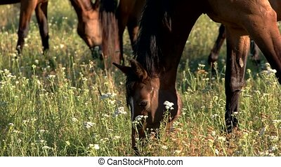 Horse eating grass. Hoofed animal and white flowers. Wild...