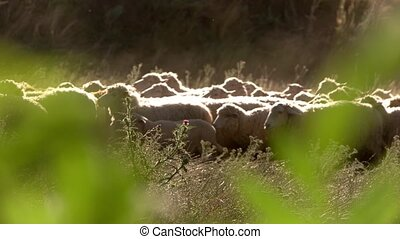 Herd of sheep is moving.