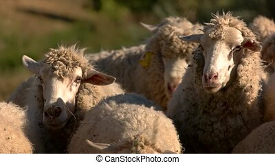 Sheep are walking. Flock of domestic animals. Herd on the...