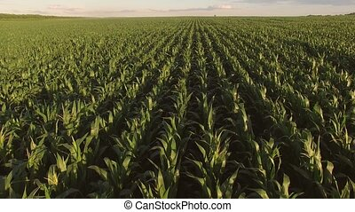 View of cornfield from air. Long rows of green plants. Don't...