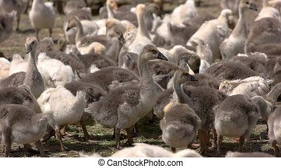 Herd of geese. Birds walk and eat hay. Feed provided by...