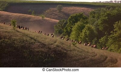 Large group of horses runs. Herd and men on horses. Spanish...
