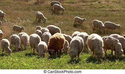 Flock of sheep eating grass. Domestic animals on a meadow....