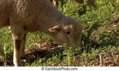 Lamb eats grass. Sheep is chewing. Land of the farm. Cute...