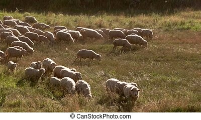 Sheep are eating grass. Sheep flock on sunny meadow....