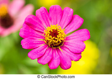 Pink Zinnia flower (Zinnia violacea Cav) with green...