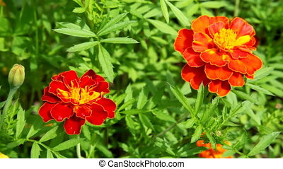 two flowers of marigold waving in the wind