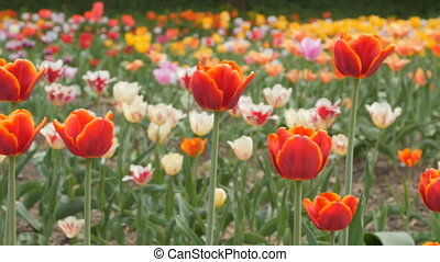 red tulips blooming closeup - slider shot - Red tulips...