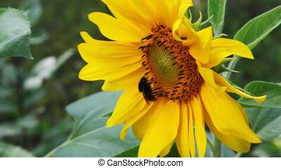humble-bee sits on yellow beautiful flower in nature in summer