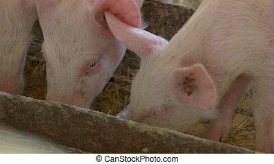 Pigs eat from a trough. Group of piggies. Swines are hungry....