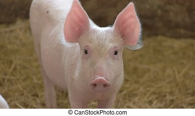 Piggy on straw background. Pig of white color. Animal in the...