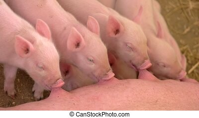 Piggies drinking milk from sow. Little pink pigs. Rural...
