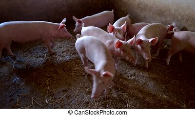 Piggies are walking around. Group of swines. Pigpen at local...