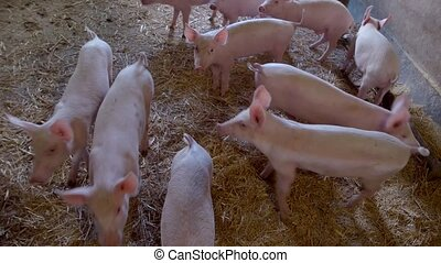 Group of piglets. Pigs walk on straw. Can't wait to go...
