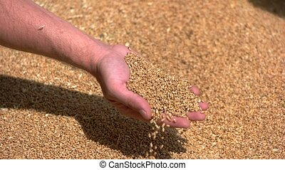 Man's hand takes grains. Grain of yellow color. Wheat fields...